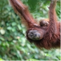 Orangutan Adoption