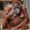 Visualising orangutans